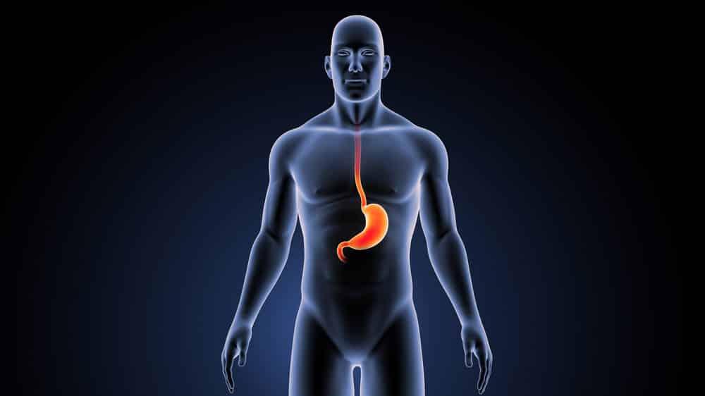 boneco simulando corpo humano com estômago em vermelho