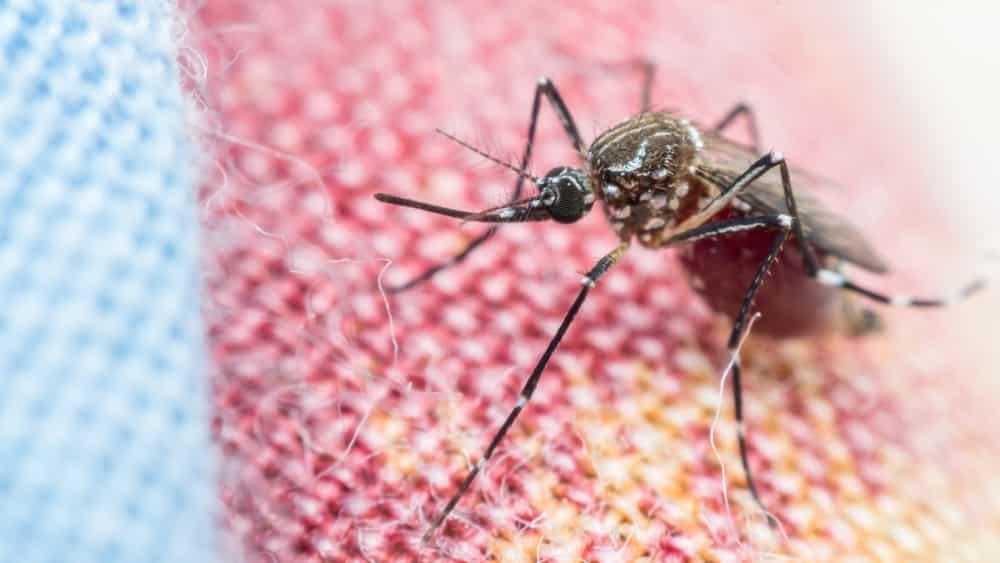 mosquito aedes. combate à dengue é difícil
