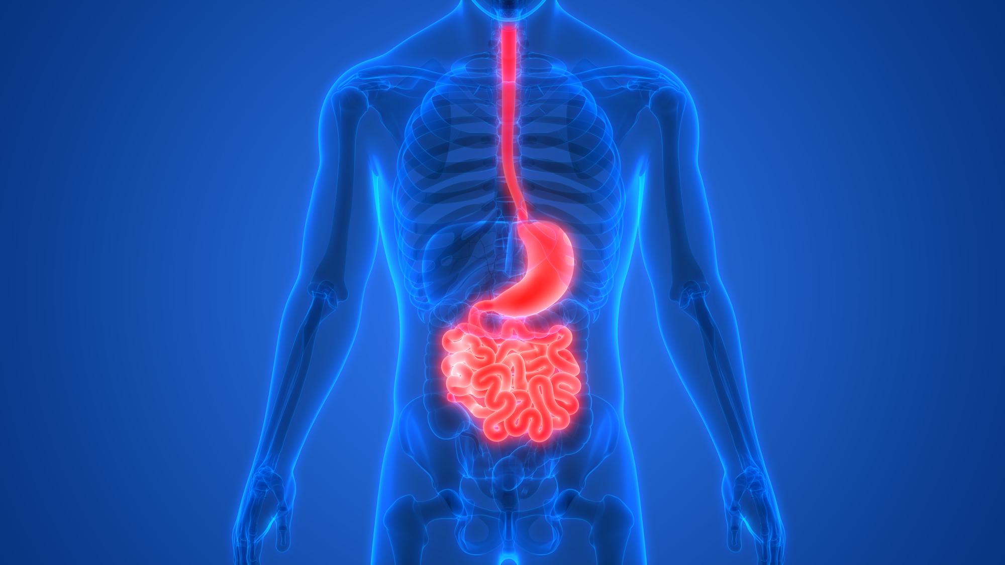 Localizado entre o íleo e o cólon, o ceco é responsável por receber o conteúdo do intestino delgado e iniciar a reabsorção de água que ocorre no intestino grosso.