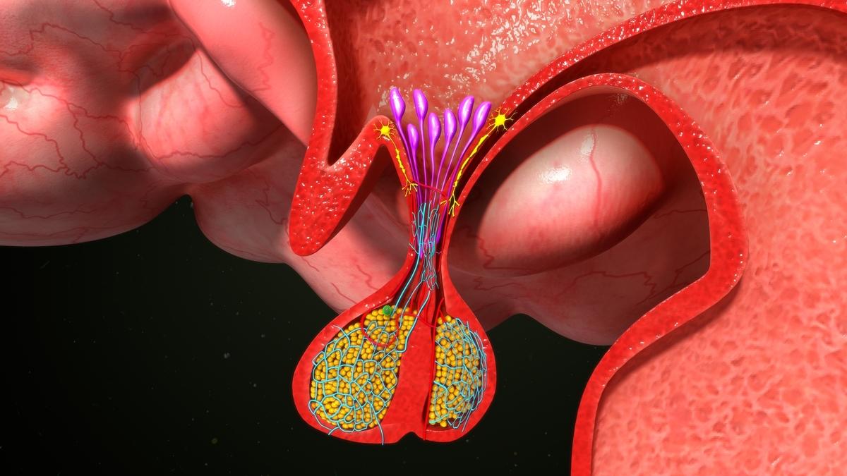 """A hipófise é conhecidacomo """"glândula mestre"""", por ser responsável pelo funcionamento de outras glândulas do corpo."""