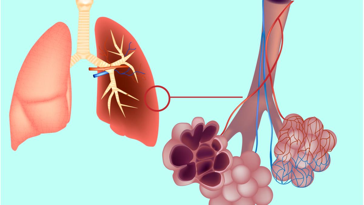 Alvéolos pulmonares são pequenas bolsas que constituem a menor unidade funcional do aparelho respiratório.