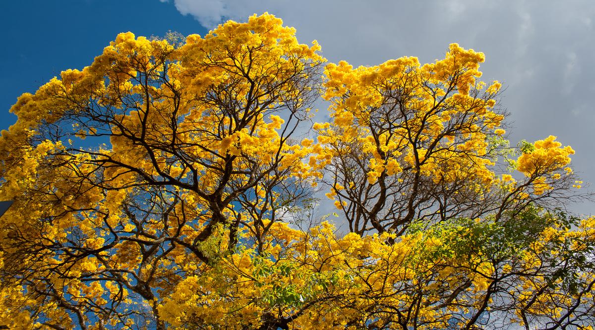 foto de árvore florida de ipês amarelos